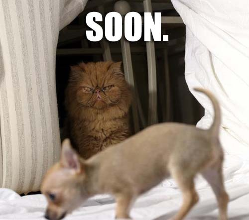 soon chihuahua dogs lol cat macro
