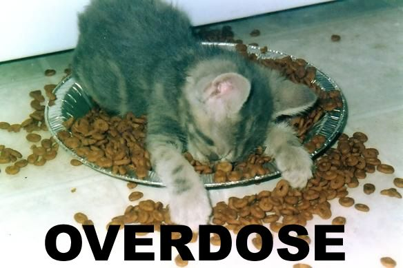 kitten asleep in food overdose  lol cat macro