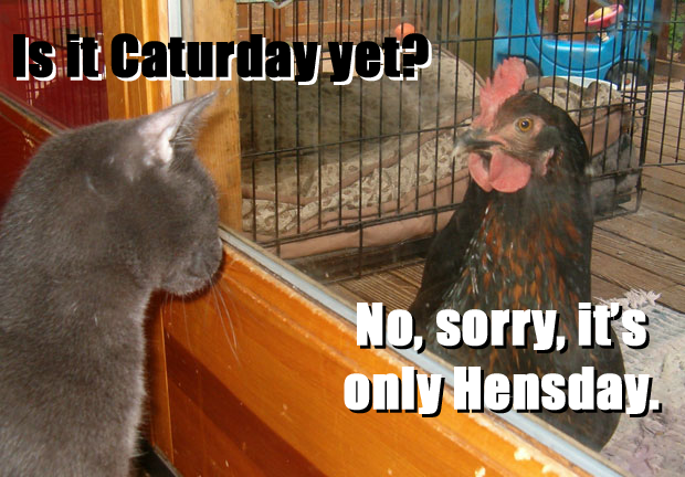 pun hensday caturday chicken lol cat macro